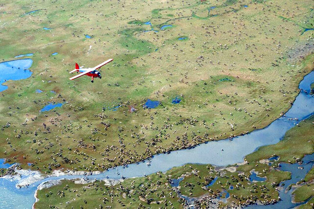 FILE - In this undated file photo provided by the U.S. Fish and Wildlife Service, an airplane flies over caribou from the Porcupine caribou herd on the coastal plain of the Arctic National Wildlife Refuge in northeast Alaska. Conservationists will try to persuade a U.S. judge to stop the Trump administration from issuing leases to oil and gas companies in the Arctic National Wildlife Refuge. The Anchorage Daily News reported that the videoconference Monday, Jan. 4, 2021, in U.S. District Court in Anchorage is expected to determine whether the Bureau of Land Management can open bids in an online lease sale scheduled for Wednesday. The agency has offered 10-year leases on 22 tracts covering about 1,563 square miles in the coastal plain, which accounts for about 5% of the refuge's area. (U.S. Fish and Wildlife Service via AP, File)