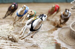 FILE - In this May 17, 2020, file photo, greyhounds compete in a race at Iowa Greyhound Park in Dubuque, Iowa. Iowa Greyhound Park, the last remaining dog-racing park in Iowa, is closing amid a shortage of available greyhounds and the overall collapse of the racing industry. (Nicki Kohl/Telegraph Herald via AP, File)