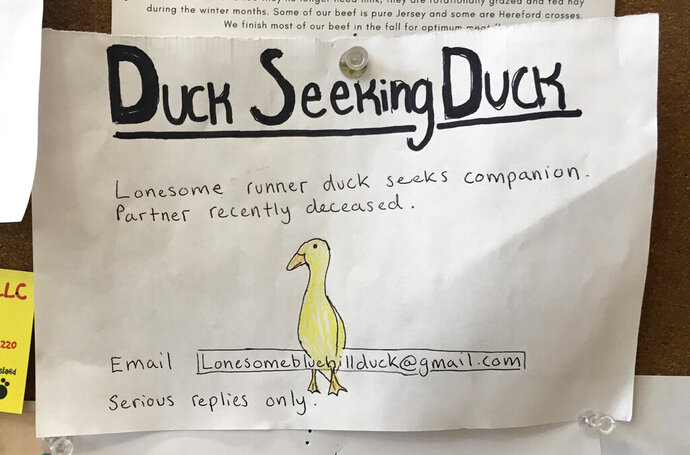 An advertisement for a single duck seeking a partner is seen on a bulletin board at the Blue Hill Co-op, Thursday, Dec. 12, 2019, in Blue Hill, Maine. The duck's owner, Chris Morris, is using the dating ad to try to find a match for one of his ducks who lost its mate to a hungry bobcat a couple of weeks ago at Morris' yard in Blue Hill. (Jennifer Coolidge via AP)