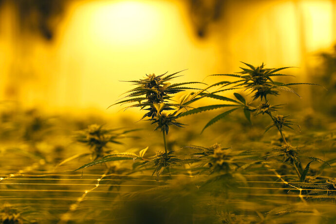 FILE - In this Aug. 6, 2019, file photo marijuana plants growing under special grow lights, at GB Sciences Louisiana, in Baton Rouge, La. When it comes to investing in cannabis stocks, the marijuana bud's faded bloom has shown few signs of returning this year. Cannabis stocks have had a harsh comedown as investors' enthusiasm about the prospects for strong growth and blockbuster company mergers has dimmed.(AP Photo/Gerald Herbert, File)