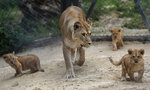 A Barbary lion Khalila walks with her cubs in their enclosure at the zoo in Dvur Kralove, Czech Republic, Thursday, Sept. 10, 2020. Three Barbary lion cubs have been born in a Czech zoo, a welcome addition to a small surviving population of a rare majestic lion subspecies that has been extinct in the wild. Three females that have yet to be named were born on July 5  in the Dvur Kralove safari park. (AP Photo/Petr David Josek)