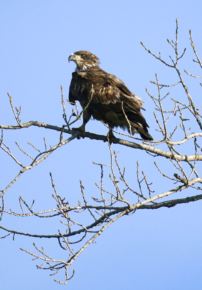 FILE - A juvenile bald eagle sits in a tree overlooking a pond at Water Works Park in Des Moines, Iowa on April 12, 2021. The National Audubon Society has updated its million-selling field guides on birds and trees of North America for the first time in decades. The guides now include the conservation status of nearly every species of bird and tree. Maps show how climate change has affected their ranges. (AP Photo/Charlie Neibergall, File)