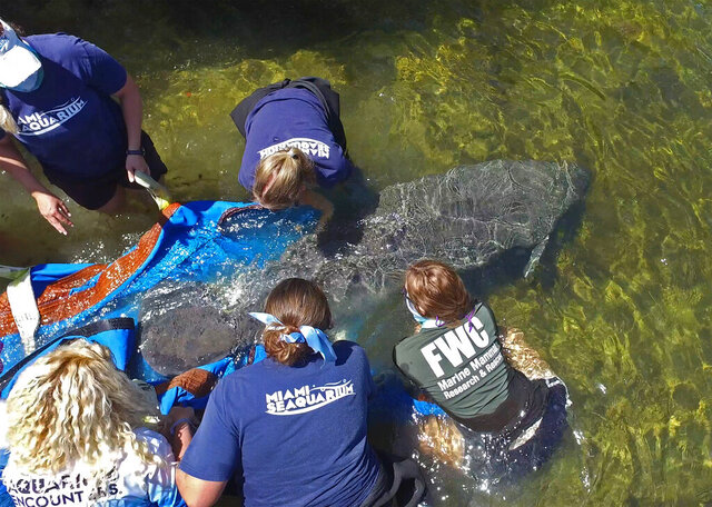 In this photo provided by the Florida Keys News Bureau, marine mammal rescue staffers release