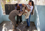 Veterinarian Karen Ribeiro holds a jabiru, while fellow vets examine the injured bird's wing, at a center created for animals injured in the fires in the Pantanal wetlands near Pocone, Mato Grosso state, Brazil, Friday, Sept. 11, 2020.