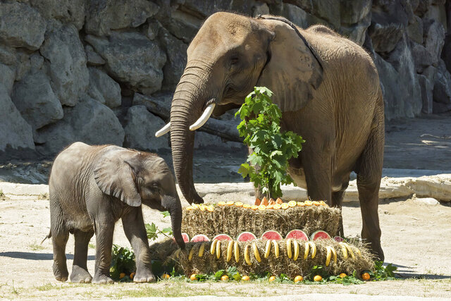 "Elephant baby Kibali enjoys her birthday cake besides her mother Numbi at the Schoenbrunn Zoo in Vienna, Austria, Monday, May 18, 2020. Economy Minister Margarete Schramboeck was named godmother to Kibali the elephant in a ceremony at Vienna's Zoo. In order to help Austrians envision keeping the recommended one-meter (3.28 feet) apart to protect themselves from the conronavirus, Schramboeck said they'd always told people it was ""the length of a baby elephant."" (Zoo Vienna via AP)"
