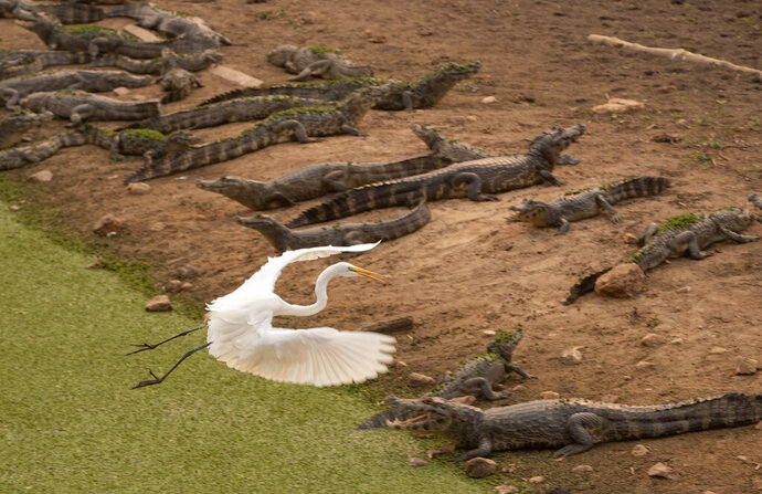 An egret flies over a bask of caiman on the banks of the almost dried up Bento Gomes river, in the Pantanal wetlands near Pocone, Mato Grosso state, Brazil, Monday, Sept. 14, 2020. The Pantanal is the world's largest tropical wetlands, popular for viewing jaguars, along with caiman, capybara and more. This year the Pantanal is exceptionally dry and burning at a record rate. (AP Photo/Andre Penner)