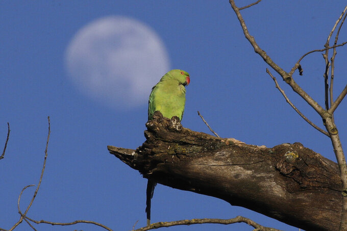 A parakeet sits on a branch as the moon rises in the background at Rome's Villa Pamphili park once it reopened after several weeks of closure, part of nationwide limited easing of some lockdown restrictions, on Monday, May 4, 2020. Italy began stirring again Monday after a two-month coronavirus shutdown, with 4.4 million Italians able to return to work and restrictions on movement eased in the first European country to lock down in a bid to stem COVID-19 infections. (AP Photo/Alessandra Tarantino)