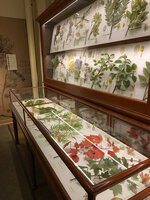 This Oct. 8, 2019 photo shows part of the Glass Flowers exhibit at the Harvard Museum of Natural History in Cambridge, Mass. The Glass Flowers date back to the 19th and early 20th centuries, and were intended to dazzle the public while educating botany students. They have been on display continuously at Harvard since 1893. This third-floor gallery at the Harvard Museum of Natural History is one of the institution's most beloved _ and most visited _ treasures. The red maple branch in this photo, lower right, is a popular glass model in the collection. (Tracee Herbaugh via AP)