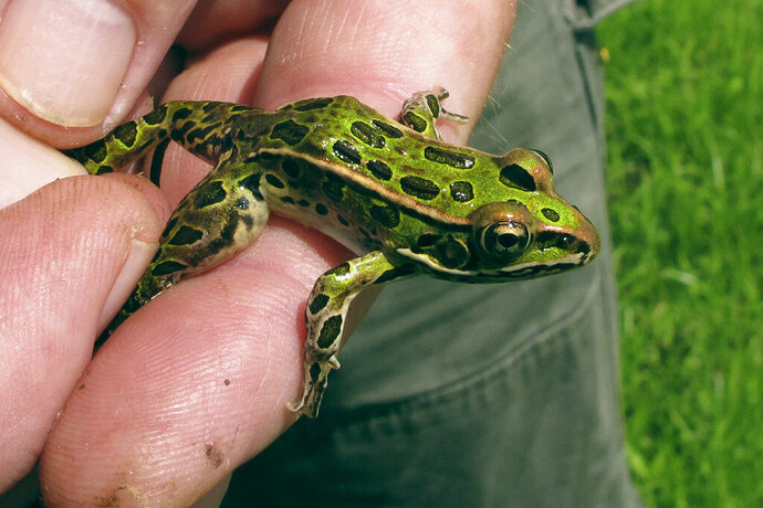 In this July 23, 2019 photo, Jim Andrews, a University of Vermont herpetology lecturer, holds a young northern leopard frog in Salisbury, Vt. A wet spring has resulted in a 100-fold increase in the population of the particular frog in a region of Vermont. (AP Photo/Lisa Rathke)