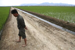 A worker walks along a rice field in Sariwon, North Korea, Wednesday, June 13, 2018. Away from the political developments that have rocketed their country back into the international headlines, North Korean farmers are preparing for the summer season with hopes the relatively good conditions they have had so far this year will hold out until the fall harvest. (AP Photo/Dita Alangkara)