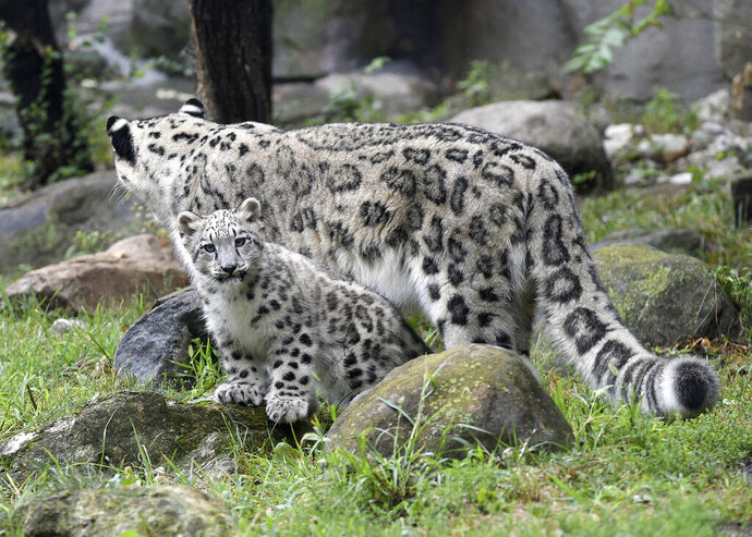 Ahava, front, a 3-month-old snow leopard cub, sits in an enclosure with her mother Malaya, Wednesday, Sept. 9, 2020, at Brookfield Zoo in Brookfield, Ill. Ahava made her debut at the zoo outside Chicago on an unusually cool day. Temperatures hovered in the mid-60s as Ahava (Ah-ha-vah), love in Hebrew, explored her outdoor habitat along the zoo's Big Cats walkway. The cub has been kept behind the scenes as she bonded with her mother Malaya, (Jim Schulz/Chicago Zoological Society via AP)