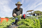 In this, Wednesday, Feb. 5, 2020, Kourtney Lesperance, 23, of Miami, who just finished her undergraduate studies at University of Colorado Boulder, harvests kale on an organic farm in Opa-locka, Fla. A Florida bill mandating that private companies verify each new hire's eligibility to work in the U.S. is worrying farmers in the agriculture-rich state. The growers complain they are struggling to find farm workers as the unemployment rate reaches record lows. (AP Photo/Wilfredo Lee)