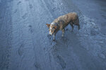 In this Jan. 13, 2020, photo, a dog walks along ash fall covered road as Taal Volcano continues to spew ash in Tagaytay, Cavite province, south of Manila, Philippines. (AP Photo/Aaron Favila)