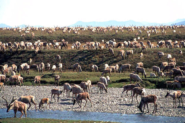 FILE - In this undated file photo provided by the U.S. Fish and Wildlife Service, caribou from the Porcupine Caribou Herd migrate onto the coastal plain of the Arctic National Wildlife Refuge in northeast Alaska. Environmental groups wasted no time challenging the Trump administration's attempt to open part of an Alaska refuge where polar bears and caribou roam free to oil and gas drilling. (U.S. Fish and Wildlife Service via AP, File)