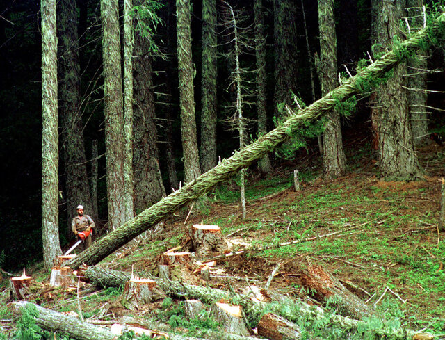 FILE - This undated file photo shows a large fir tree heading to the forest floor after it is cut by an unidentified logger in the Umpqua National Forest near Oakridge, Ore. Oregon Gov. Kate Brown on Monday, Feb. 10, 2020, unveiled an agreement between environmental groups and timber companies in Oregon, which have clashed for decades, for a road map for overhauling forest practice regulations. Brown, whose office brokered the memorandum of understanding, called it