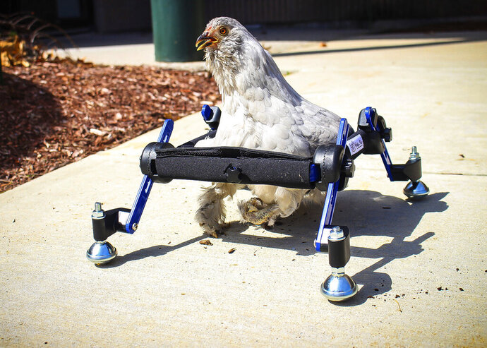 In this provided by Mikayla Feehan and taken on April 3, 2019, a pet chicken named Granite Heart tests out a custom wheelchair made by Walkin' Pets in Amherst, N.H. On a recent SNL episode, the television show's