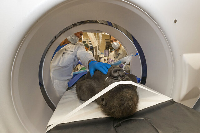 In this 2019 photo provide by San Diego Zoo Global, Chris W. Heichel, MD, a cataract surgery specialist at Shiley Eye Institute at UC San Diego Health, and his team examine Leslie, a western lowland gorilla, in a machine at the San Diego Zoo Safari Park's Paul Harter Veterinary Medical Center in San Diego. A cataract was removed on Dec. 10 from the left eye of the 3-year-old western lowland gorilla who lives at the San Diego Zoo Safari Park, the park announced Monday, Jan. 6, 2020. (Ken Bohn/San Diego Zoo Global via AP)