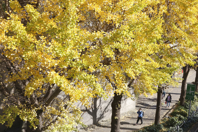 People wearing face masks to protect against the spread of the coronavirus walk under the yellow leaves of ginko trees in Yokohama, Kanagawa prefecture, near Tokyo, Tuesday, Dec. 1, 2020. (AP Photo/Koji Sasahara)