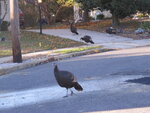 Wild turkeys walk on a road in Toms River, N.J. New Jersey Wednesday, Nov. 13, 2019. Wildlife officials plan to trap and relocate some of the large number of turkeys that have established themselves in and around a retirement community. (AP Photo/Wayne Parry)