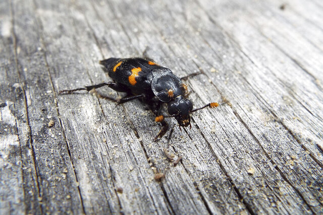 This November 2020 photo provided by Dr. Vanessa R. Lane shows a Nicrophorus orbicollis beetle in Georgia. Burying beetles scout for a dead mouse or bird, dig a hole and bury it, pluck its fur or feathers, roll its flesh into a ball and cover it in goop _ all to feed their future offspring. Now scientists think that goo might do more than just slow down decay. It also appears to hide the scent of the decomposing bounty and boosts another odor that repels competitors. (Vanessa R. Lane via AP)