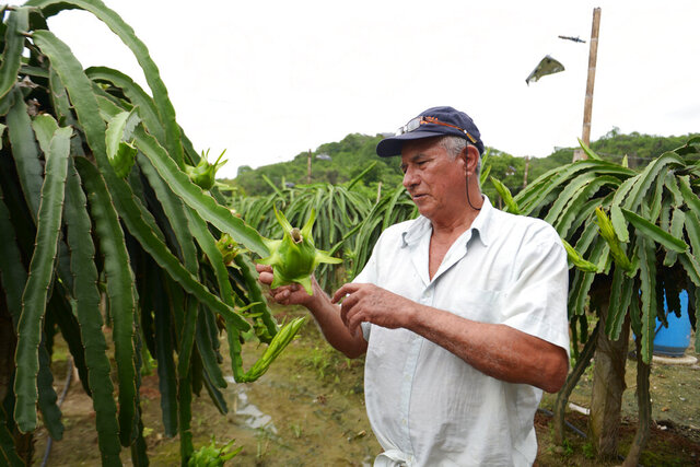 In this photo taken March 6, 2020, Dionisio Romero, owner of a dragon fruit farm checks that the plants are free of some pests at his estate La Voluntad de Dios in El Progreso, Ecuador. As the coronavirus wreaks economic havoc worldwide, the farmer has watched demand for his fruit plummet and prices drop to astonishing lows, wiping away much of the profit he might normally expect. (AP Photo/Marcos Pin)