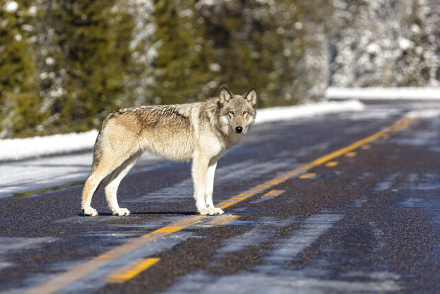 This Nov. 7, 2017, photo released by the National Park Service shows a wolf in the road near Artist Paintpots in Yellowstone National Park, Wyo. Wolves have repopulated the mountains and forests of the American West with remarkable speed since their reintroduction 25 years ago, expanding to more than 300 packs in six states. (Jacob W. Frank/National Park Service via AP)