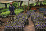 In this photo taken Friday, April 26, 2019, mulberry plants are grown at the National Sericulture Research Center in Thika, Kenya. A growing number of Kenyan farmers are turning to silk production as they move away from traditional cash crops such as coffee, maize, sugarcane and cotton, with the mulberry trees the silkworms need to survive seen as less affected by a changing climate. (AP Photo/Khalil Senosi)