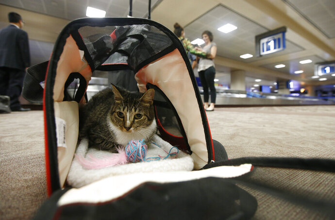 FILE - In this Sept. 20, 2017, file photo Oscar the cat, who is not a service animal, sits in his carry on travel bag after arriving at Phoenix Sky Harbor International Airport in Phoenix. Industry officials believe many that hundreds of thousands of passengers scam the system each year by claiming they need their pet for emotional support. Those people avoid airline pet fees, which Oscar's owners paid. (AP Photo/Ross D. Franklin, File)