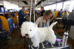 Kate Murray grooms a west highland white terrier named Pumpkin during the 142nd Westminster Kennel Club Dog Show in New York, Tuesday, Feb. 13, 2018. (AP Photo/Seth Wenig)