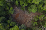 In this Nov. 22, 2019 photo, cut logs lie in an area opened by illegal loggers inside the Renascer Reserve in the Amazon rainforest in Prainha, Para state, Brazil. This area is known to have trees with high economic value such as ipe, jatoba and massaranduba. One of the biggest seizures of illegal timber in the Brazilian Amazon forest happened in this reserve in 2010. Those who live in the area complain that illegal logging is still happening. (AP Photo/Leo Correa)