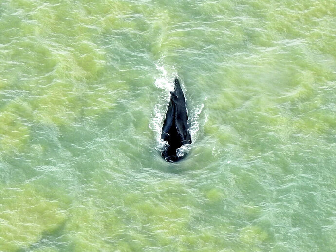 In this photo provided by Parks Australia, a humpback whale swims in the ocean in Van Diemen Gulf, Australia, Sunday, Sept. 20, 2020. A humpback whale has found its way back to sea weeks after it got lost in a murky, crocodile-infested river in northern Australia. (Parks Australia via AP)