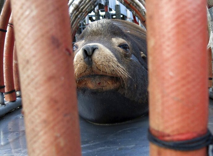 FILE  - In this March 14, 2018, file photo, a California sea lion peers out from a restraint nicknamed
