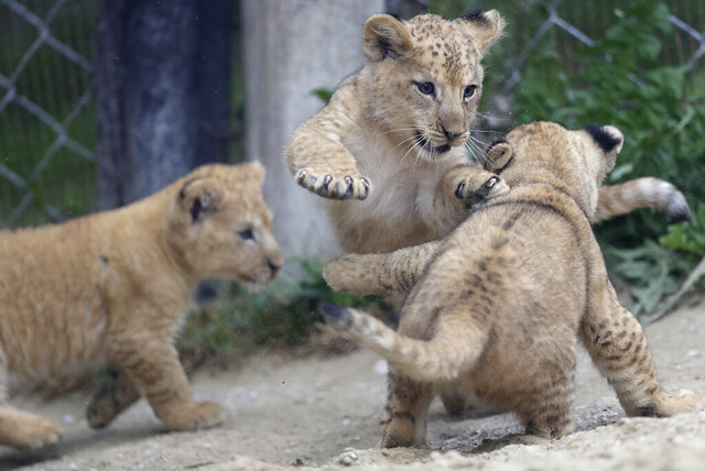 Barbary lion cubs play in their enclosure at the zoo in Dvur Kralove, Czech Republic, Thursday, Sept. 10, 2020. Three Barbary lion cubs have been born in a Czech zoo, a welcome addition to a small surviving population of a rare majestic lion subspecies that has been extinct in the wild. Three females that have yet to be named were born on July 5 in the Dvur Kralove safari park. (AP Photo/Petr David Josek)