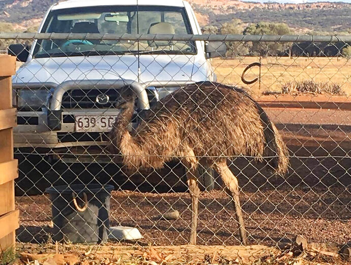 "In this photo taken and released by Leanne Byrne, an emu named Carol, three years old and raised from an egg, walks around behind a fence, July 5, 2020, in Yaraka, in the Longreach Region, Queensland, Australia, population 13. An Australian Outback pub has banned two emus, Carol and another, for ""bad behavior"" after they learned to climb the stairs and created havoc inside. The two large, flightless birds were already adept at stealing food from people in a lightly populated Queensland state outpost. (Leanne Byrne via AP)"