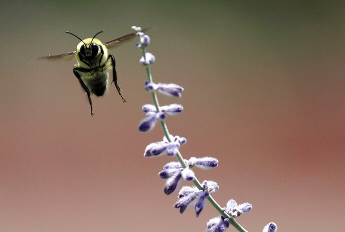 A bumblebee flies near a lavender bush in the International Peace Gardens in Salt Lake City, Utah, on Friday, July 17, 2020.  A federal review of existing data unveils an alarming trend for the western bumblebee population, which has seen its numbers dwindle by as much as 93% in the last two decades. The Deseret News reports the find by the U.S. Geological Survey will help inform a species status assessment to begin this fall by the U.S. Fish and Wildlife Service, which may ultimately add the insect to its endangered species list.(Kristin Murphy/The Deseret News via AP)