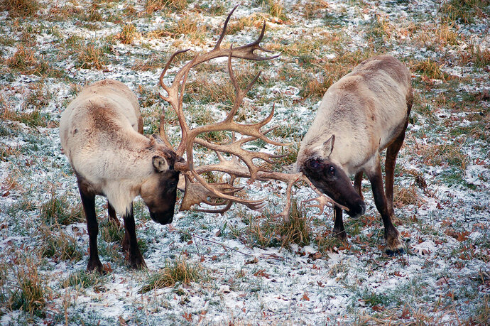 FILE - This undated file photo provided by Montana Fish, Wildlife and Parks shows two caribou in northwest Montana. Environmental groups plan to sue the U.S. Fish and Wildlife Service for failing to prevent the recent extinction of the last herd of mountain caribou in the Lower 48 states. The handful of remaining animals in the southern Selkirk Mountains herd were relocated into Canada last November, ending decades of efforts to save the herd in a remote part of Idaho and Washington state. (Montana Fish Wildlife and Parks via AP, File)