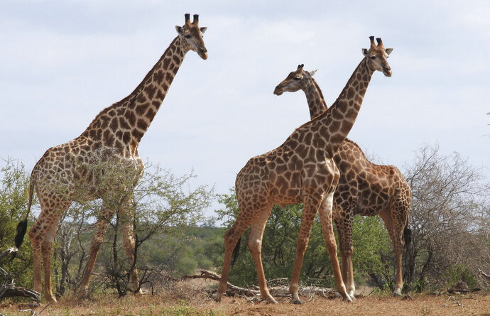 In this photo taken Jan. 1, 2015, giraffe are seen in the Kriger National Park, South Africa. An international conference on endangered species known as CITES being held in Switzerland Thursday, August 22 2019, agreed to protect giraffes for the first time, drawing praise from conservationists and scowls from some sub-Saharan African nations. (AP Photo/Kevin Anderson)