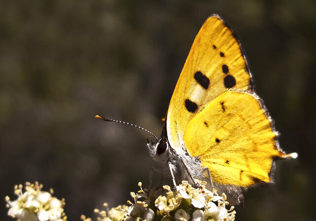 This June 8, 2010, photo shows a Hermes Copper (Lycaena hermes) butterfly near Barrett Lake, south of Alpine, southeastern San Diego County, Calif. The U.S. Fish and Wildlife Service has proposed adding a California butterfly, the rare Hermes copper (Lycaena hermes), to the list of threatened species. The service filed its proposal Jan. 8, 2020. (Michael Couffer/Grey Owl Biological Consulting via AP)