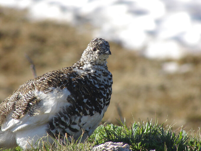 CORRECTS BIRD SHOWN TO WHITE-TAILED PTARMIGAN, NOT A MOUNT RAINIER WHITE-TAILED PTARMIGAN - This July 14, 2011, photo provided by the U.S. Fish and Wildlife Service shows a white-tailed ptarmigan. The agency has proposed listing a similar bird found in the North Cascades as threatened under the Endangered Species Act due to the likelihood that climate change will shrink its high-elevation habitat throughout the state. The Mount Rainier white-tailed ptarmigan is found in the Cascade Mountains from southern British Columbia to southern Washington. (Pete Plage/USFWS via AP)