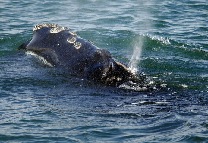 FILE - In this March 28, 2018, file photo, a North Atlantic right whale feeds on the surface of Cape Cod bay off the coast of Plymouth, Mass. Six of the endangered right whales died in the Gulf of St. Lawrence in June 2019, prompting scientists and conservationists to call for a swift response to protect the endangered species. (AP Photo/Michael Dwyer, File)