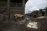 In this Jan. 14, 2020, photo, a horse stands next to damaged structure at the Taal volcano island in Talisay, Batangas province, southern Philippines. Before Taal Volcano rumbled back to life in the Philippines, thousands of poor Filipinos have long lived in it's shadow on an island renowned for its scenery but dreaded history.(AP Photo/Basilio Sepe)