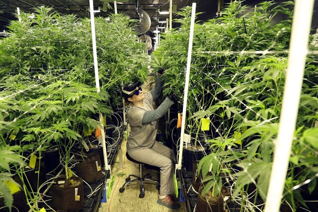 FILE - In this March 22, 2019, file photo, Heather Randazzo, a grow employee at Compassionate Care Foundation's medical marijuana dispensary, trims leaves off marijuana plants in the company's grow house in Egg Harbor Township, N.J. New Jersey's ballot question on legalizing recreational marijuana has led to more than $2 million in fund raising by interest groups, the state Election Law Enforcement Commission said Thursday, Oct. 29, 2020. (AP Photo/Julio Cortez, File)