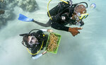 Divers Everton Simpson, right, and Andrew Todd bring staghorn coral from a coral nursery to be planted inside the White River Fish Sanctuary Tuesday, Feb. 12, 2019, in Ocho Rios, Jamaica. When each stub grows to about the size of a human hand, Simpson collects them in a crate to individually