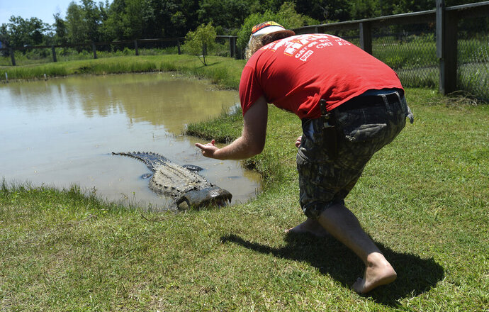 Intern Blake Mitchell coaxes legend Big Al out from his pond, using only voice and motion commands, as he is not authorized to touch the alligators, at Gator Country in Fannett, Texas Monday, May 11, 2020. Gator Country reopened the first weekend in May after being closed for weeks amid COVID-19 restrictions. (Kim Brent/The Beaumont Enterprise via AP)