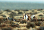 FILE - This April 10, 2014 file photo shows a male sage grouse trying to impress a group of hens, at left, near the base of the Rattlesnake Range in southwest Natrona County, Wyo. Montana, Wyoming and other Western states are reporting population declines for the birds in 2019. (Alan Rogers/The Casper Star-Tribune via AP, File(