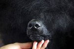 Siba, a standard poodle, is groomed before competing in the Best of Breed event at the Westminster Kennel Club dog show on Monday, Feb. 11, 2019, in New York. (AP Photo/Wong Maye-E)