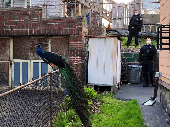 This photo provided by the Boston Police Department shows officers and a peacock in Boston on Monday, May 11, 2020. A Boston police officer used an electronic mating call Monday to help capture the peacock that had escaped from a nearby zoo. (Boston Police Department via AP)