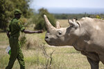 FILE - In this Friday, Aug. 23, 2019 file photo, a ranger reaches out towards female northern white rhino Najin, 30, one of the last two northern white rhinos on the planet, in her enclosure at Ol Pejeta Conservancy, Kenya. Groundbreaking work to keep alive the nearly extinct northern white rhino - population, two - by in-vitro fertilization has been hampered by travel restrictions caused by the new coronavirus. (AP Photo/Ben Curtis, File)