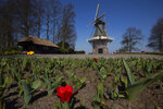 The first tulips start to blossom at the empty, world-renowned, Dutch flower garden Keukenhof which was closed because of the coronavrius, in Lisse, Netherlands, Thursday, March 26, 2020. Keukenhof will not open this year after the Dutch government extended its ban on gatherings to June 1 in an attempt to slow the spread of the virus. Instead of opening, it will allow people to virtually visit its colorful floral displays through its social media and online channels. The new coronavirus causes mild or moderate symptoms for most people, but for some, especially older adults and people with existing health problems, it can cause more severe illness or death. (AP Photo/Peter Dejong)
