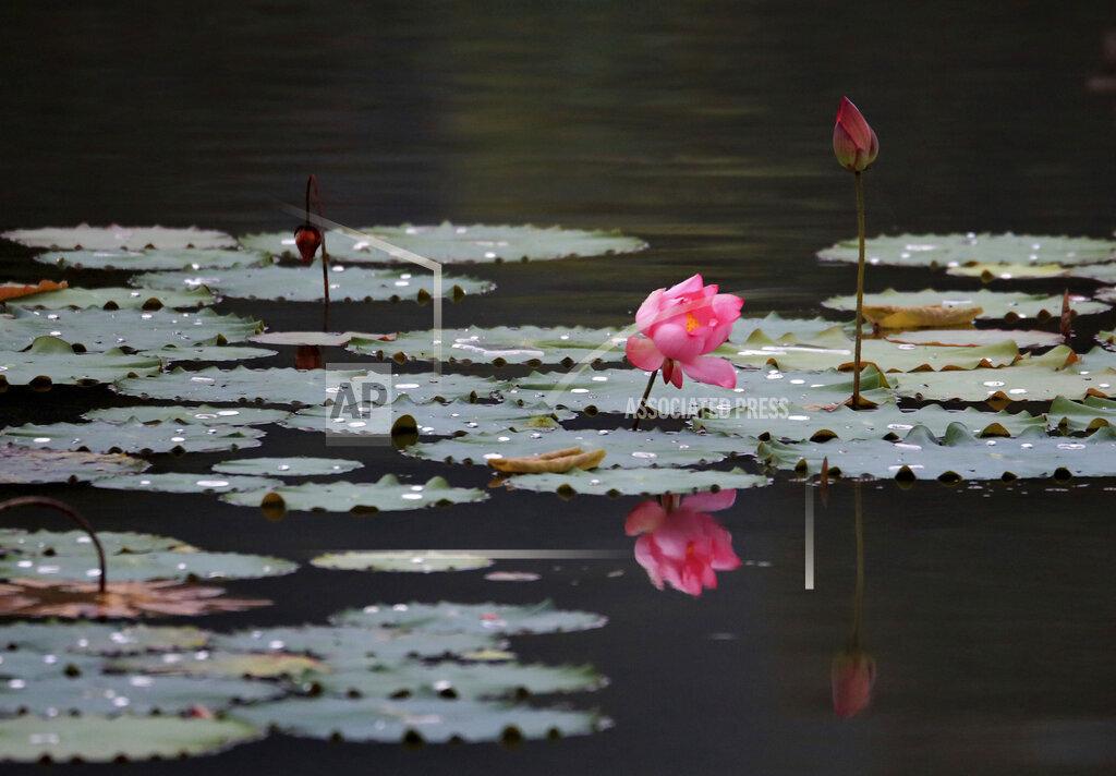 CHINESE LOTUS FLOWERS BLOSSOM XIDI HISTORY REGION ANHUI VILLAGES